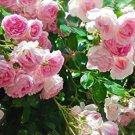 Pink Climbing Rose  10 seeds