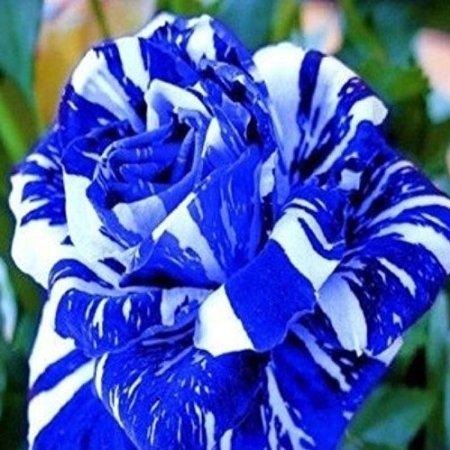 Blue Dragon Rose 10 seeds