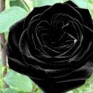 Black of Night Rose  10 seeds
