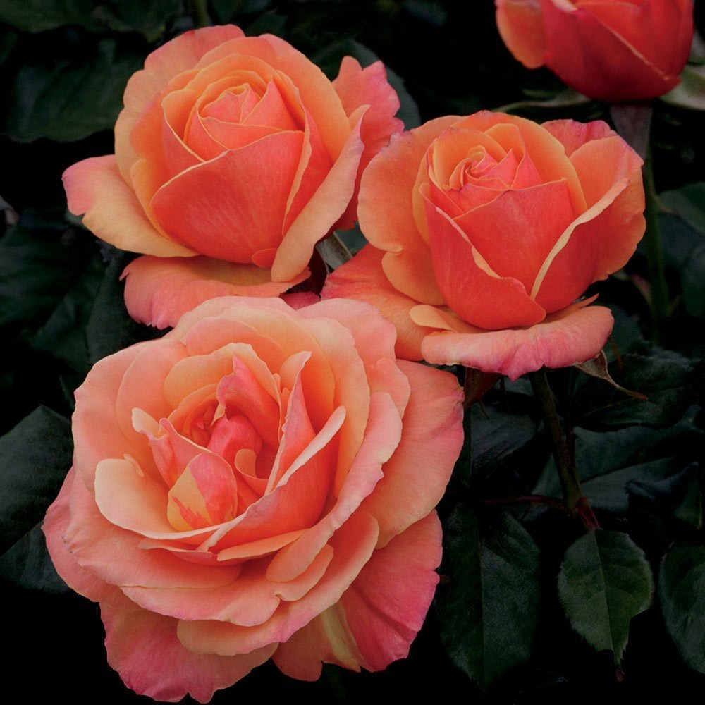 Anna's Promise Rose 10 seeds