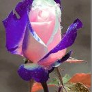 Purple Heart Rose 10 seeds