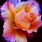 Flamboyant Heart Rose 10 seeds