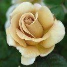 Jactan Rose 10 seeds