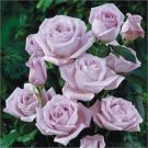 Climbing Blue Moon Rose 10 seeds