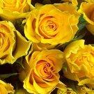 Climbing Sunny Rose 10 seeds