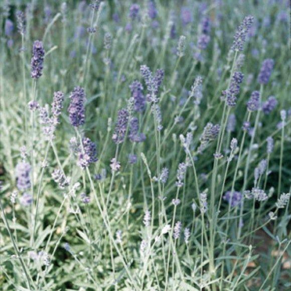 Munstead Lavender 50 seeds