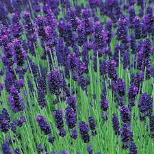Dark Purple Hidcote Lavender 50 seeds