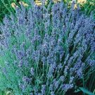 Lavender Sky Light Blue Lavender 50 seeds