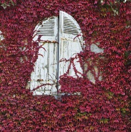 Breathtaking Boston Ivy 10 seeds