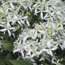 Sweet Autumn Clematis 10 seeds