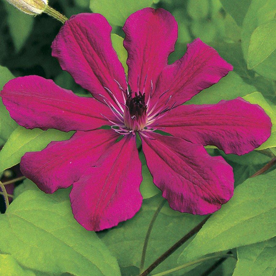 Allanah Clematis 10 seeds