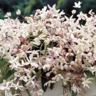 Apple Blossom Clematis 10 seeds