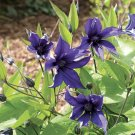 Sapphire Indigo Clematis 10 seeds