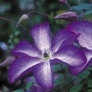 Venosa Violacea Clematis 10 seeds
