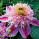 Empress Clematis 10 seeds