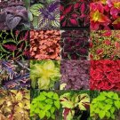 Coleus Mix 50 seeds