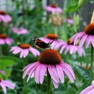 Purple Coneflower  (Echinacea)  25 seeds