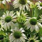 Jade Coneflower  (Echinacea)  25 seeds