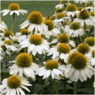 White Swan Coneflower  (Echinacea)  25 seeds