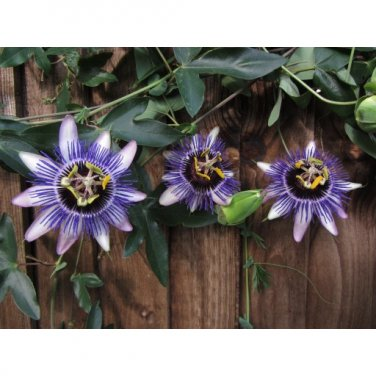 Damsel's Delight Passion Flower 10 seeds