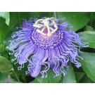 Iridescence Passion Flower 10 seeds