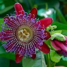 Giant Sweet Granadilla Passion Flower 10 seeds