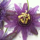 Purple Possium Passion Flower 10 seeds