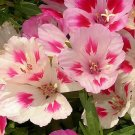 USA SELLER Godetia (Farewell to Spring) Mix  35 seeds