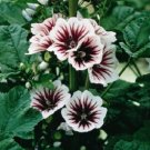 USA SELLER French Hollyhock 10 seeds