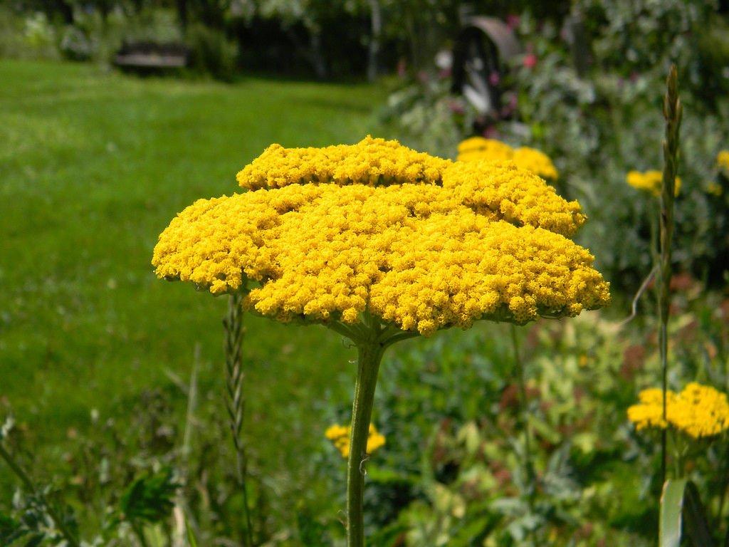 USA SELLER Golden Yarrow 10o seeds
