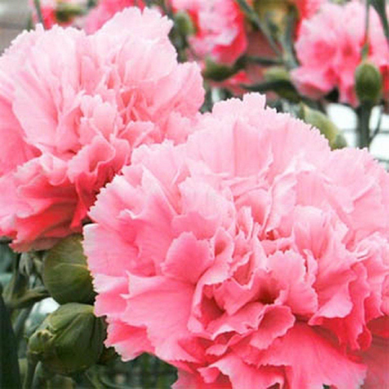 USA SELLER Romantic Pink Carnation 10 seeds