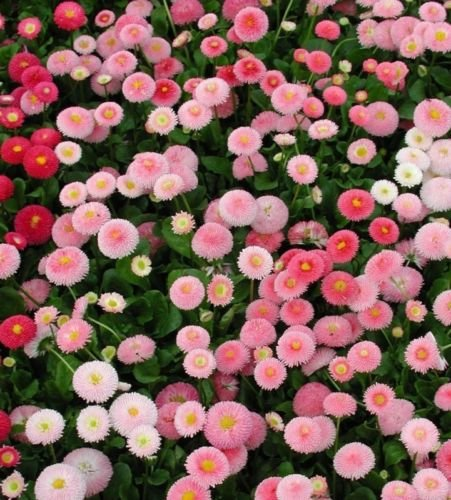 USA SELLER English Daisy Mix 25 seeds