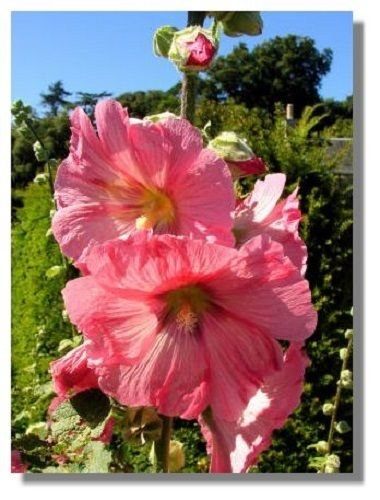 USA SELLER Giant Danish Hollyhock (11 ft) 10 seeds