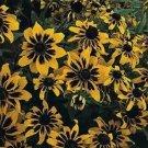 USA SELLER Solar Eclipse Rudbeckia 100 seeds