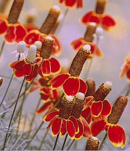 USA SELLER Mexican Hat 100 seeds
