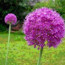 USA SELLER Huge Giant Purple Allium 10 seeds