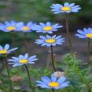 USA SELLER Precious Blue Daisy's 25 seeds