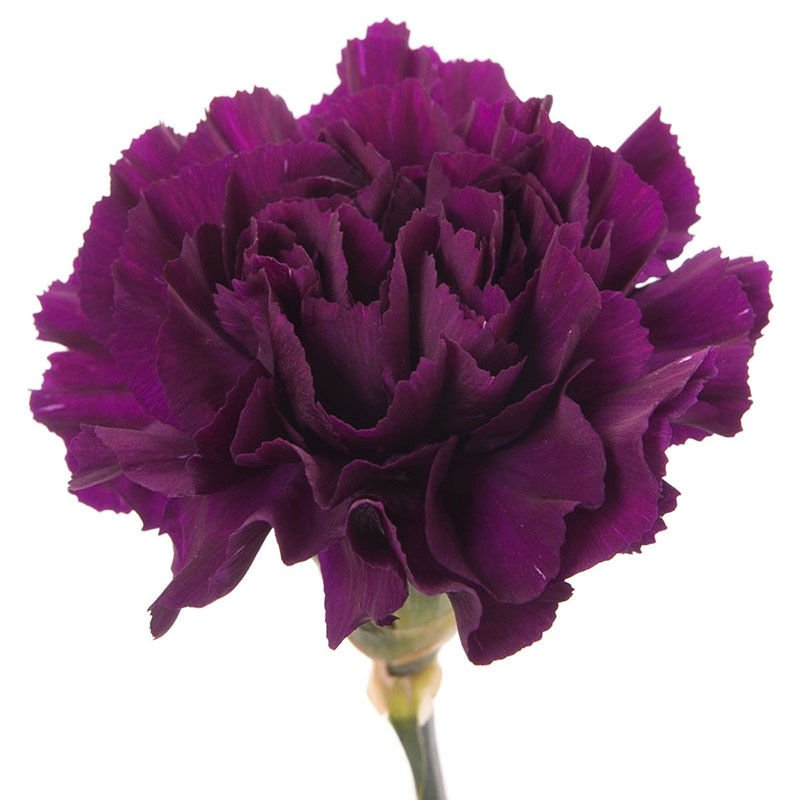 USA SELLER Extreme Purple Carnation 10 seeds