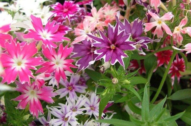 USA SELLER Twinkle Star Phlox Mix 25 seeds