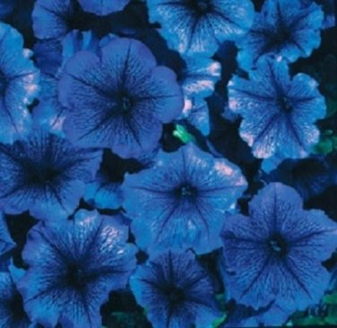 USA SELLER Celebrity Blue Ice Petunia 15 seeds