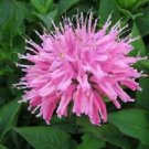 USA SELLER Pink Monarda Bee Balm  25 seeds