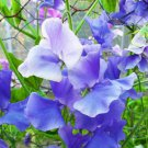 USA SELLER Blue Royal Sweet Pea 15 seeds
