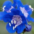 USA SELLER California Bluebell 100seeds