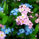 USA SELLER Pink Forget Me Not 100 seeds