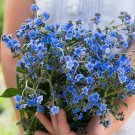 USA SELLER Chinese Blue Forget Me Not 100 seeds
