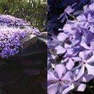 USA SELLER Purple beauty Phlox 25 seeds