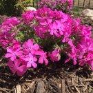 USA SELLER Drummond Pink Phlox 25 seeds