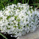 USA SELLER Snowflake White CreepingPhlox 25 seeds