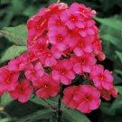 USA SELLER Star Fire Tall red Phlox 25 seeds