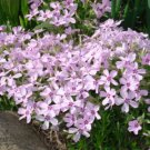 USA SELLER Milk & Wine Light Pink Creeping Phlox 25 seeds